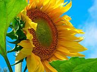 Семена подсолнечника Солтан (Гранстар 75%) от SEMANS