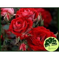 Роза бордюрная Dinamit Sprey