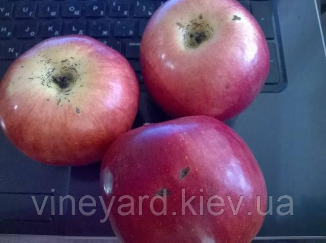 ОПХ Мелитопольское, яблоки зимние