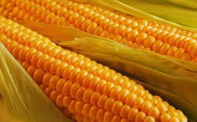 Семена Кукурузы ГКТ 211 (ФАО 210) Венгрия среднеранняя, фото 2