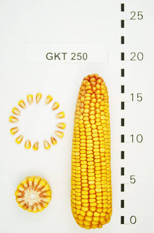 Семена Кукурузи ГКТ 250 (ФАО 250) Венрия, среднеранний, фото 2