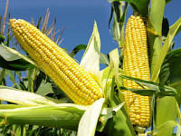 Семена кукурузы Лоренс, Seed Grain Company
