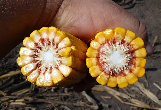 Семена Кукурузы ГКТ 288 (ФАО 290) Венгрия, Засухоустойчивая, фото 2