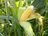 Семена кукурузы Тор, Seed Grain Company