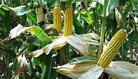 Семена кукурузы SG34N95, Seed Grain Company