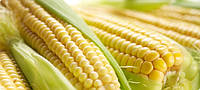Семена кукурузы Моника 350 МВ