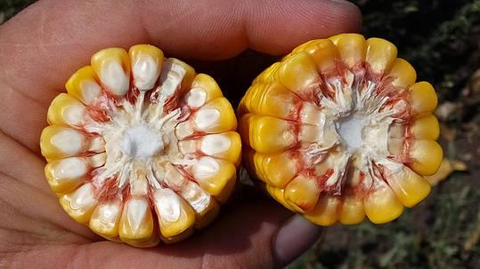 Семена Кукурузы Сегеди 386 (ФАО 390) Венгрия, Морозоустойчивая, фото 2