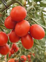 Томат 6Пунто7 F1/6Punto7 F1 Seminis 1000 семян