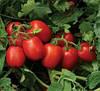 Томат 1015 F1 Heinz 5000 семян