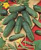 Семена огурца Астерикс F1 / Asterix F1 (Бейо / Bejo) 500 г — пчелоопыляемый, ранний гибрид (45-48 дней)