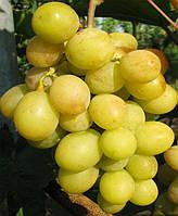 Саженцы винограда Синдикат (корнесобственные)