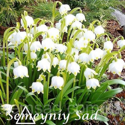 Белоцветник Весенний ( 10шт), фото 2