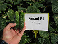 Семена огурца Амант F1 (Бейо / Bejo) 1000 семян — партенокарпик, ультра-ранний гибрид (40-45 дней)