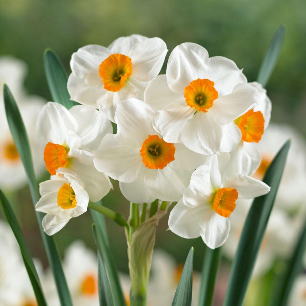 Нарцисс многоцветковый Geranium, 2 луковицы