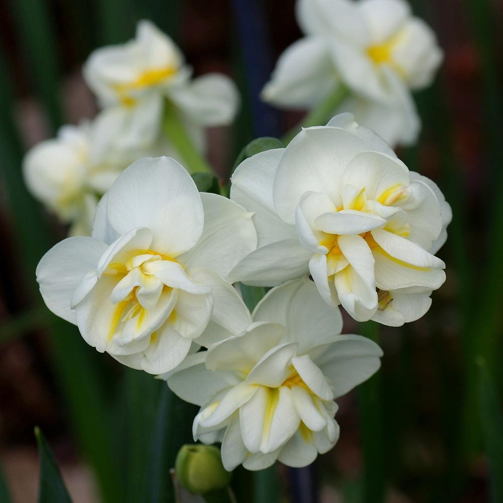 Нарцисс многоцветковый Cherfulness 10/12 2 шт