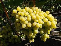 Виноград Надежда Аксайская (ранний) (саженцы)