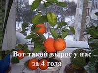 Продам саженцы мандарин