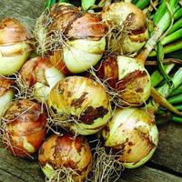 ИБИС F1 - семена лука репчатого озимого, 250 000 семян, Hazera