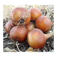 ТАРЕСКО F1 - семена лука репчатого, 250 000 семян, Hazera, фото 1