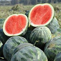 ЭКСТАЗИ F1 - семена арбуза, 500 семян, Hazera