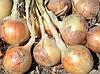 ВОЛЬФ F1 - насіння цибулі ріпчастої озимого, 5 000 насінин, Hazera