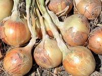 ВОЛЬФ F1 - насіння цибулі ріпчастої озимого, 5 000 насінин, Hazera, фото 1