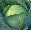 ГЛОРИЯ F1 - семена капусты белокочанной, 2 500 семян, Syngenta