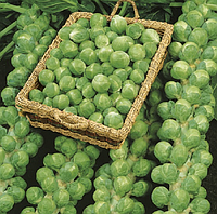 АБАКУС F1 - семена капусты брюссельской, 2 500 семян, Syngenta