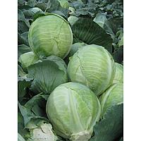 БУЗОНИ F1 - семена капусты белокочанной, 2 500 семян, Hazera , фото 1