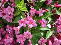 Вейгела розовая