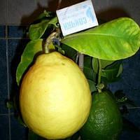 Лимон сорт Киевский крупноплодный до 20 см.