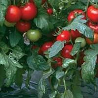Семена томата Силует F1 500 семян полудетерминантные
