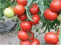 Семена томата Квалитет F1 500 семян полудетерминантные