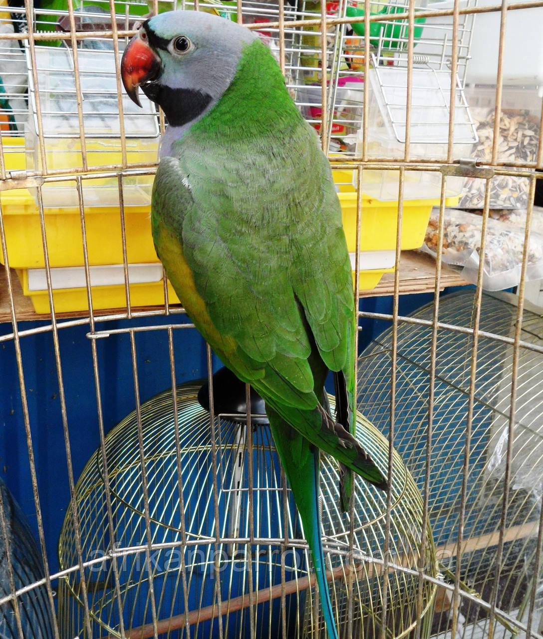 Китайский попугай или чинский попугай (лат. Psittacula derbiana)