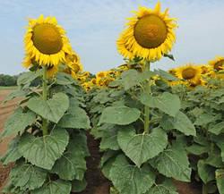 Семена подсолнечника НС-Х-6042 фр. стандарт