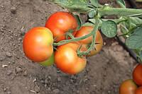Томат Лилос F1 100 семян, фото 1
