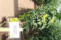 Томат Дофу F1 100 семян, фото 1