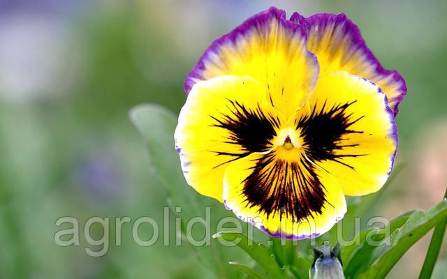 Виола и ее виды: как выбрать самый красивый цветок