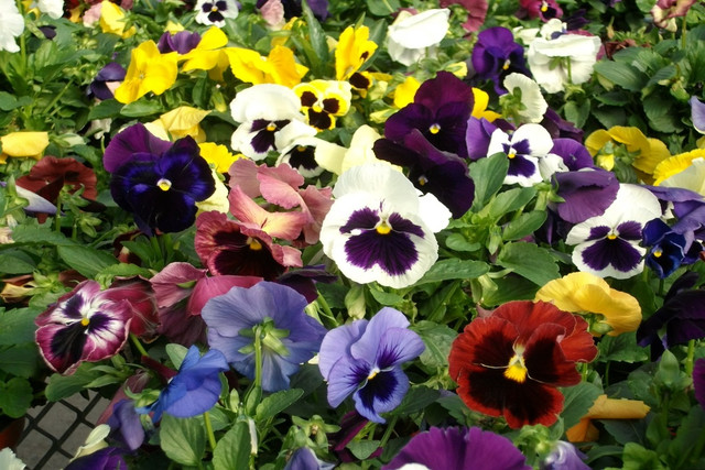 цветы фото виола швейцарские гиганты