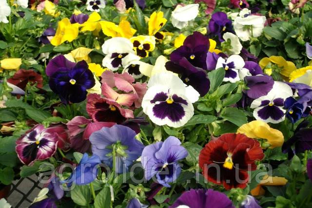 Описание: Viola-All-colours-and-varieties.jpg