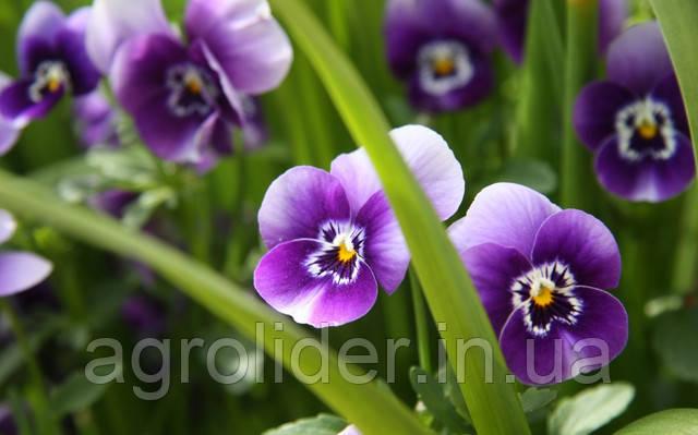 Опис: www.GetBg.net_Nature_Flowers_Viola_tricolor_029875_.jpg