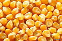 Семена  кукурузы Хмельницкий