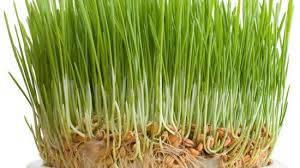 Пшеница Ярая