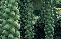 Семена брюсельской капусты ДИАБЛО. Упаковка 2 500 семян. Производитель Bejo Zaden.