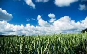 Семена яровой пшеницы/насіння ярої пшениці Ранняя 93 (БС, 1-репродукция), фото 2