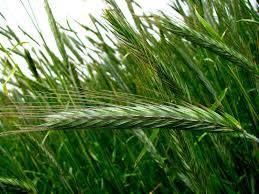 Семена ярого Ячменя / Насіння ярого ячменю Себастьян  (СН-1) 1 репродукція, фото 2