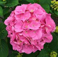 Гортензия древовидная Bouquet Rose