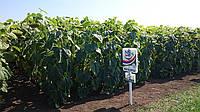 Семена подсолнечника (Юг Агролидер) НС Х 2652 стандарт