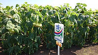 Семена подсолнечника Таурус  (Юг Агролидер)