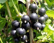 Черная смородина ароматизатор